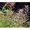 Аквариумные растения предлагаю