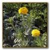 Куплю кусты бархатцев желтых