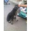 Найдена собака спаниель