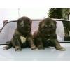 Продаются отличные щенки Кавказской овчарки