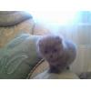 Продается британский вислоухий котенок девочка