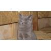 Британских котят продам