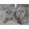 Продам котят-британцев