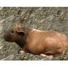 Продам морских свинок - экзотических