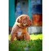 Продам щенков Бордоского дога (французский мастиф)