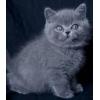 Котенок британец продается очень недорого