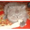 Персидских продаю котят