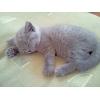 Продаю скоттиш страйт - британские котята