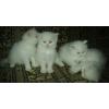 Продаются персидские котята