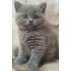 Продаю замечательных британских котят